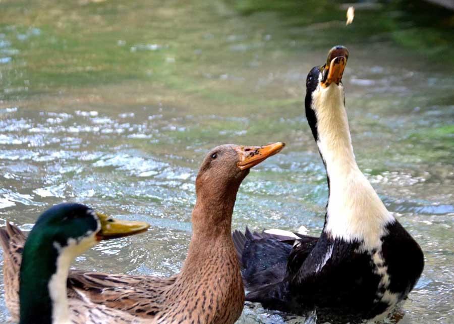 Ankara Kaş güzergahı çokbilmiş ördeklerle birlikte yemek yedik - Ankara Kas route we ate with smarty ducks, Saklikent