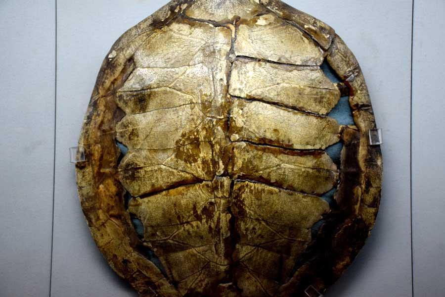 Harbiye Askeri Müze fotoğrafları Kaplumbağa Kabuğu Kalkanı, Afrika - Tortoise Shell Shield, African, Military Museum