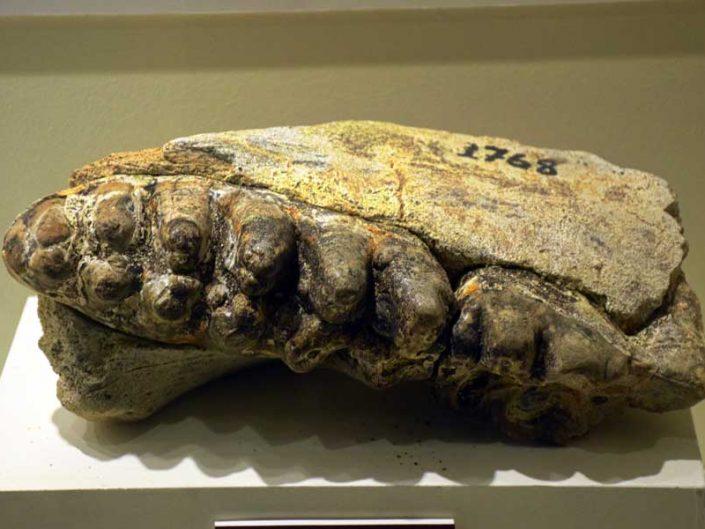 Tekirdağ Arkeoloji ve Etnografya Müzesi 6.5 milyon yıl öncesine ait yarı omurgalı hayvan fosili - semi-vertebrate animal fossil 6.5 milliyon years ego
