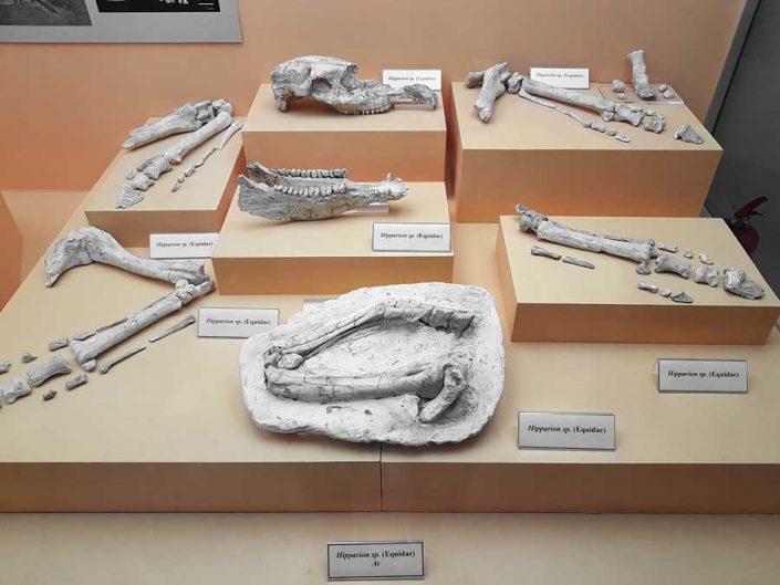 Sivas Arkeoloji Müzesi Hayranlı (Haliminhanı) kazısı fosil buluntuları - Sivas Archaeology Museum Hayranli fossil finds